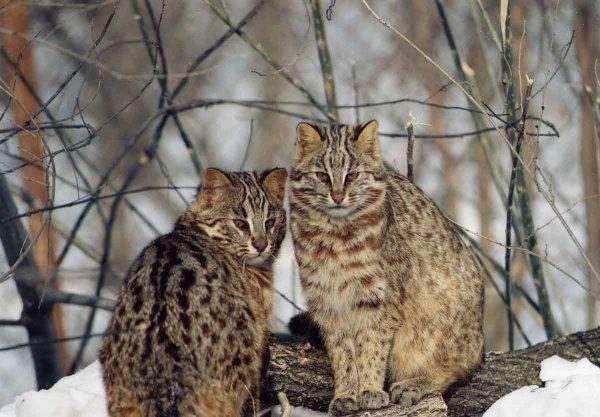 В России ученые оценили и заморозили семя редкого амурского лесного кота