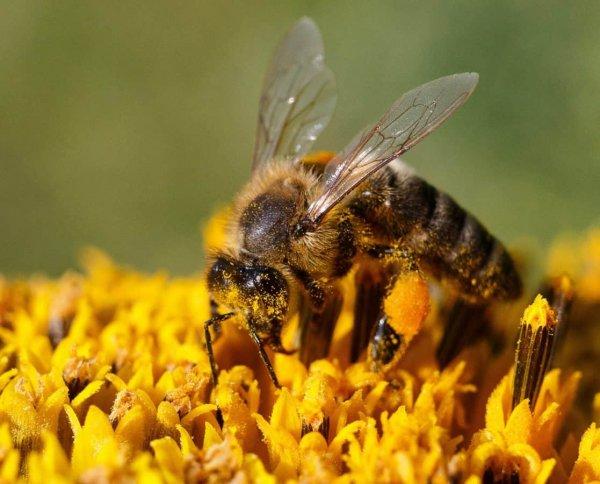 Большие пчелы лучше летают при жаркой погоде, чем маленькие
