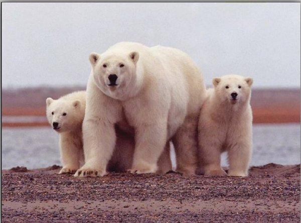 Белые медведи оккупировали чукотское село