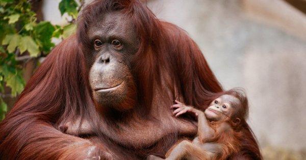 Ученые доказали, что орангутаны могут рассказывать друг другу о прошлом