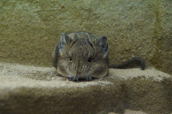 В московском зоопарке тушканчики, ежи и бурундуки залегли в зимнюю спячку