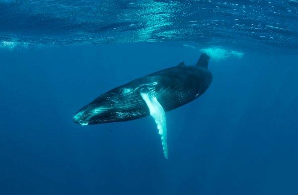 Экологи заметили детеныша исчезающего северного гладкого кита