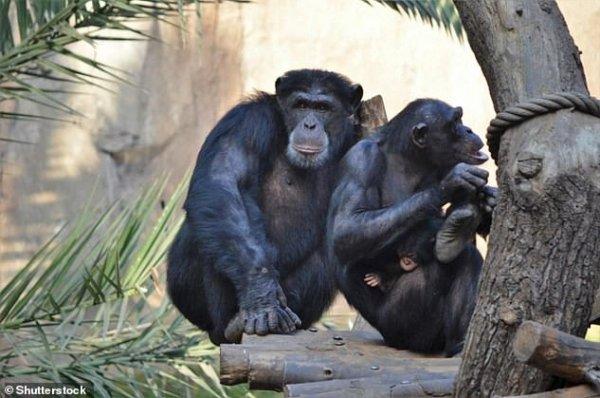 Ученые: Шимпанзе умеют общаться по-человечески
