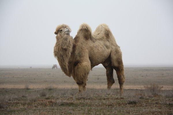 «Кадыров по пять верблюдов в год сжигает»: Шаман прокомментировал жертвоприношение