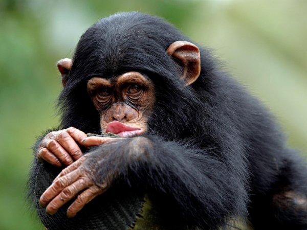 Шимпанзе в присутствии людей меняют свое поведение