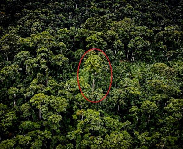 Учёные обнаружили высочайшее тропическое дерево на Земле