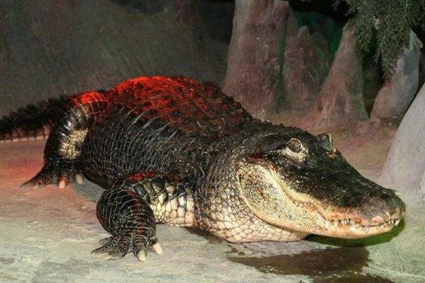 В Московском зоопарке умер 84-летний аллигатор Сатурн